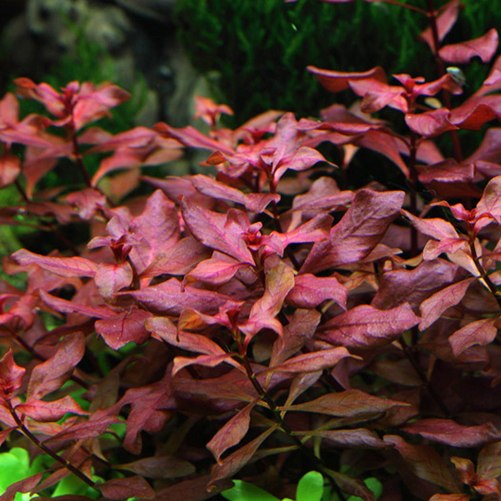 "Ludwigia palustris ""Super Red"""