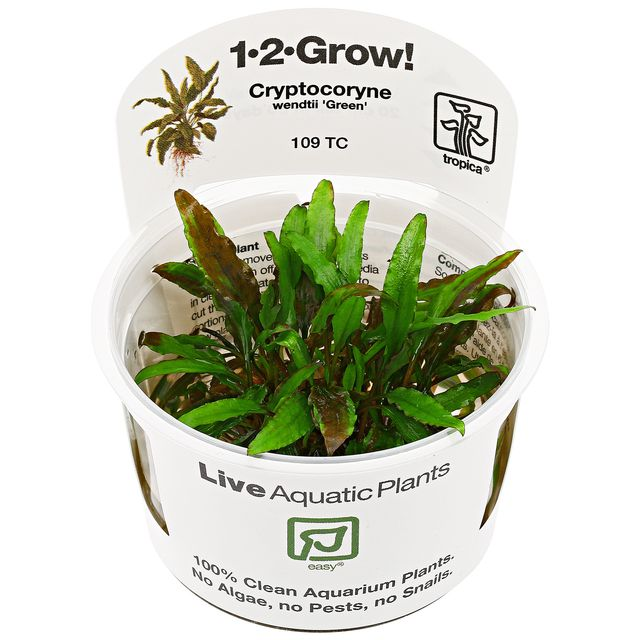 "Cryptocoryne wendtii ""Green"" - 1-2-GROW!"