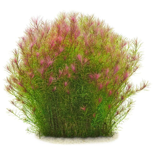 "Rotala sp. ""Long Leaf"""