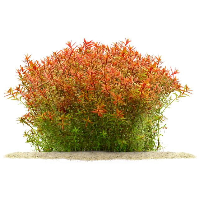 Rotala rotundifolia 'Orange Juice'