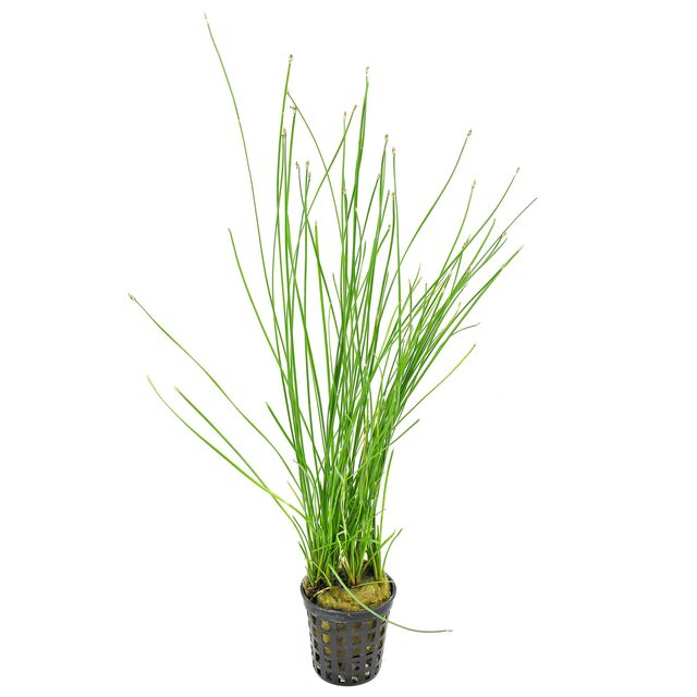 "Eleocharis sp. ""Xingu"""