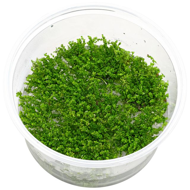 Rotala sp. 'Pearl'