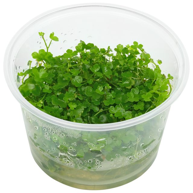 "Hydrocotyle tripartita ""Mini"""