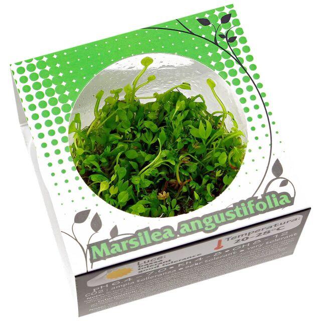 Bodendecker Aquarienpflanzen Wasserpflanzen Fur Dein Aquarium