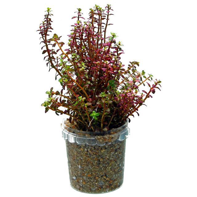 Rotala macrandra 'Mini Type 2'