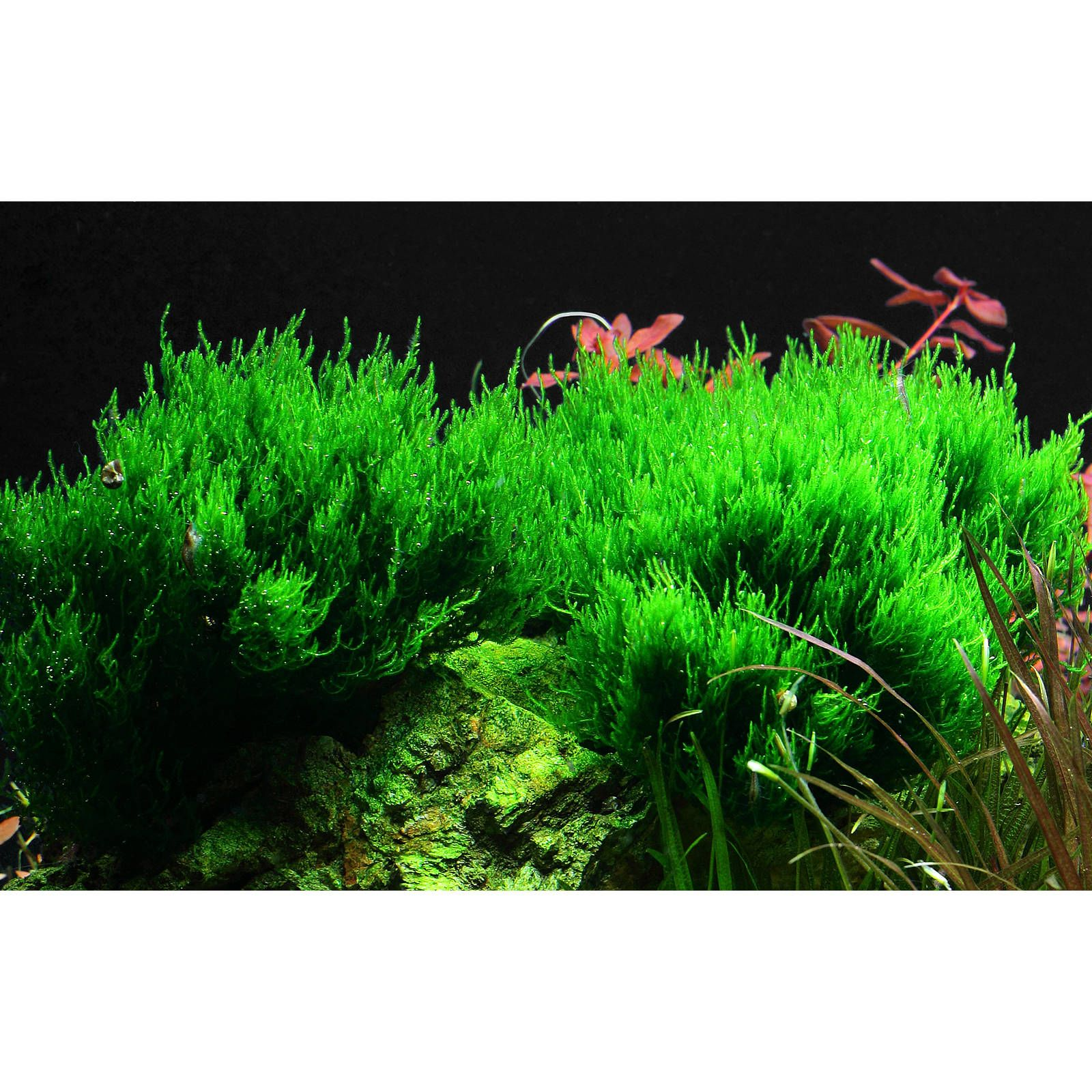 "Taxiphyllum sp. ""Flame Moss"""