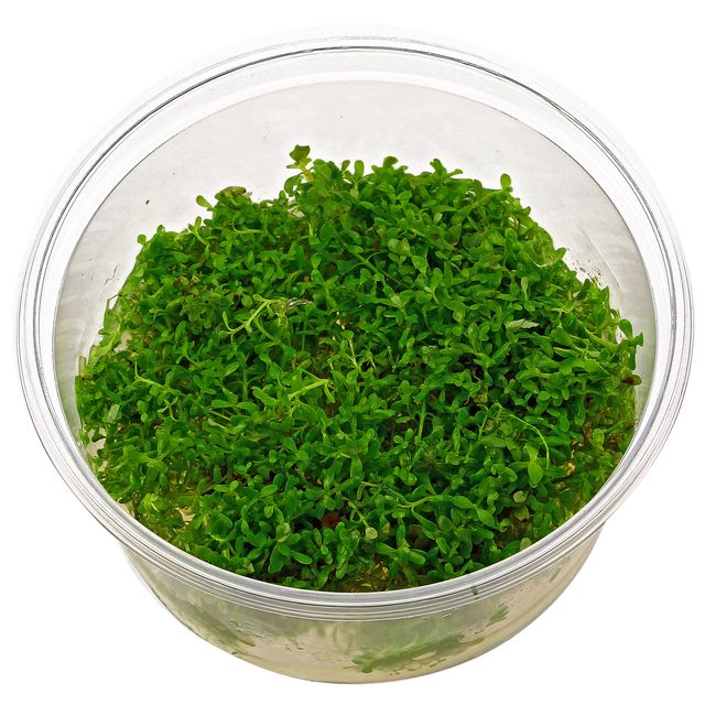 Rotala rotundifolia - in Vitro XL