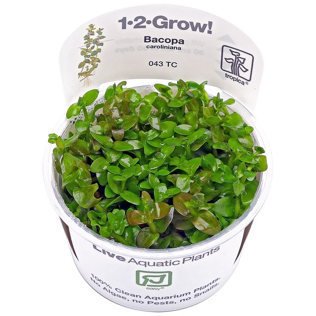 Bacopa caroliniana - 1-2-GROW!