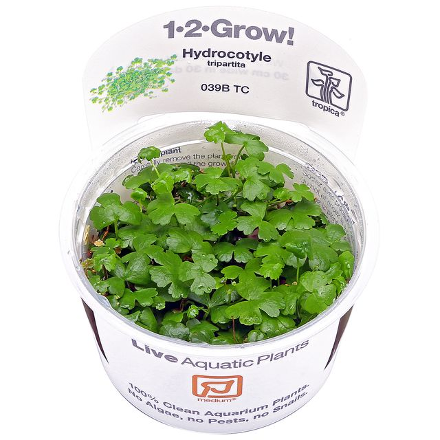 Hydrocotyle cf. tripartita - 1-2-GROW!