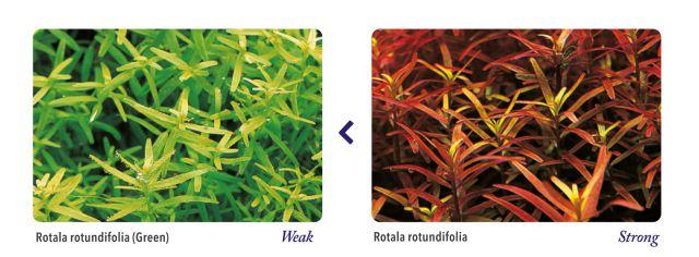 ADA-rote und grüne Pflanzen