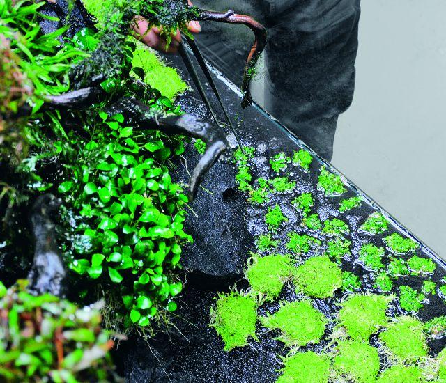 ADA Glossostigma planting
