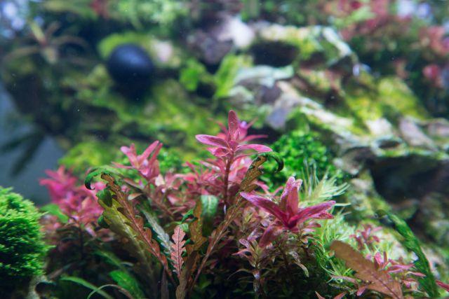 kleine rote aquarienpflanzen rote wasserpflanzen d nger f r liter kaufen rote sternludwigie. Black Bedroom Furniture Sets. Home Design Ideas