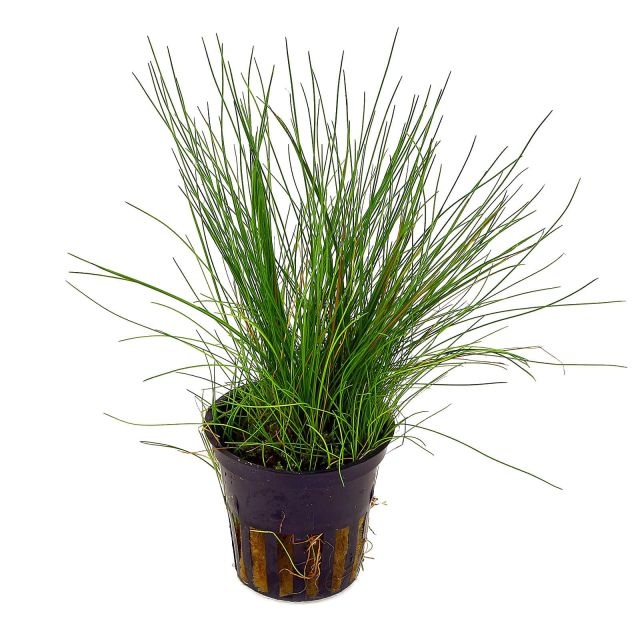 Eleocharis acicularis - in Vitro XL