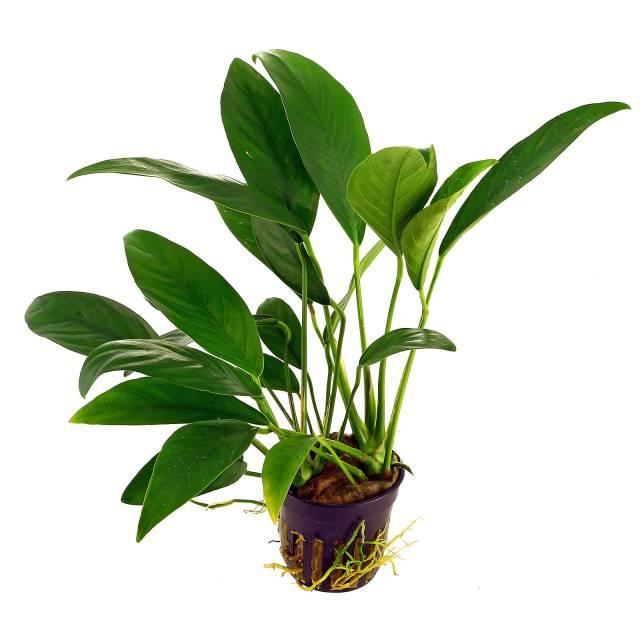 Anubias barteri var. angustifolia - Topf