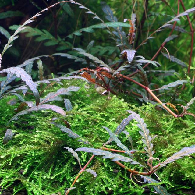 Hygrophila pinnatifida - submers