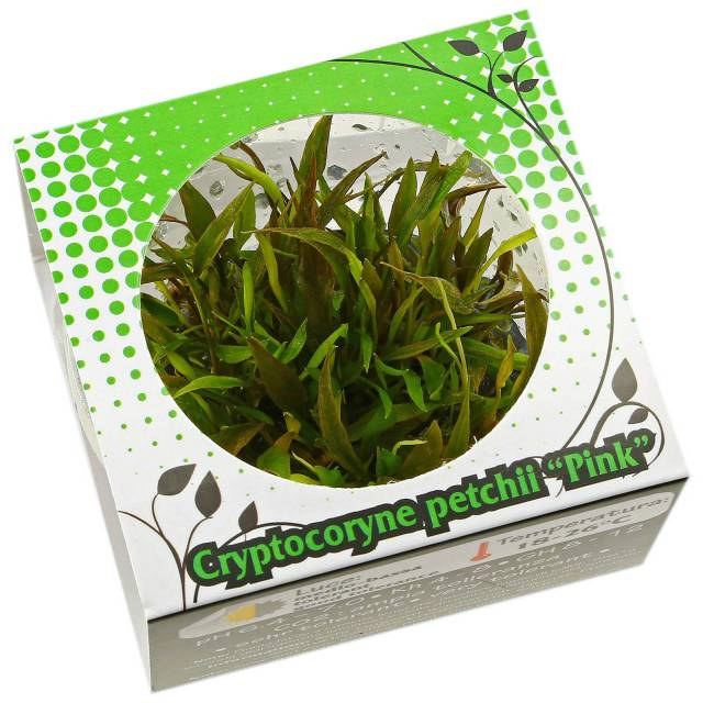 "Cryptocoryne beckettii ""Petchii Pink"" - Linea Cup"