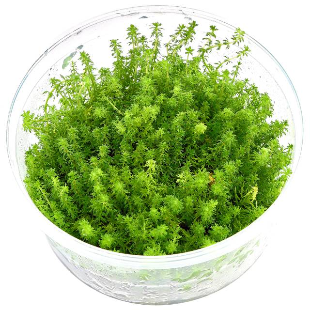 "Myriophyllum sp. ""Guyana"" - in Vitro XL"