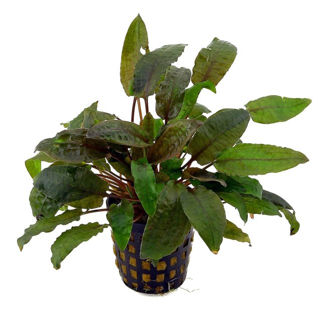 Cryptocoryne beckettii - in Vitro XL
