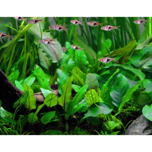 Cryptocoryne wendtii grün