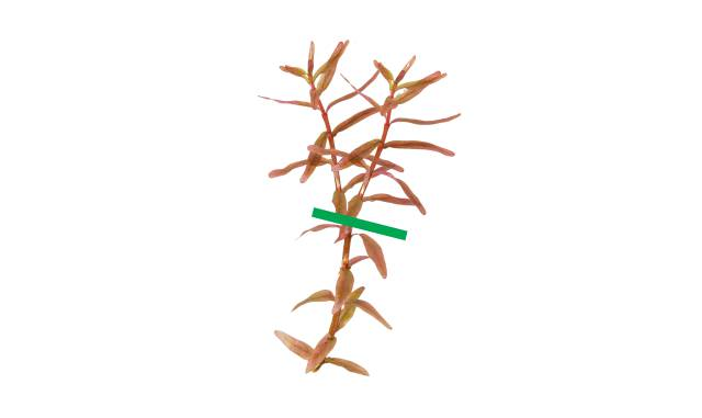 Rotala with two long shoots
