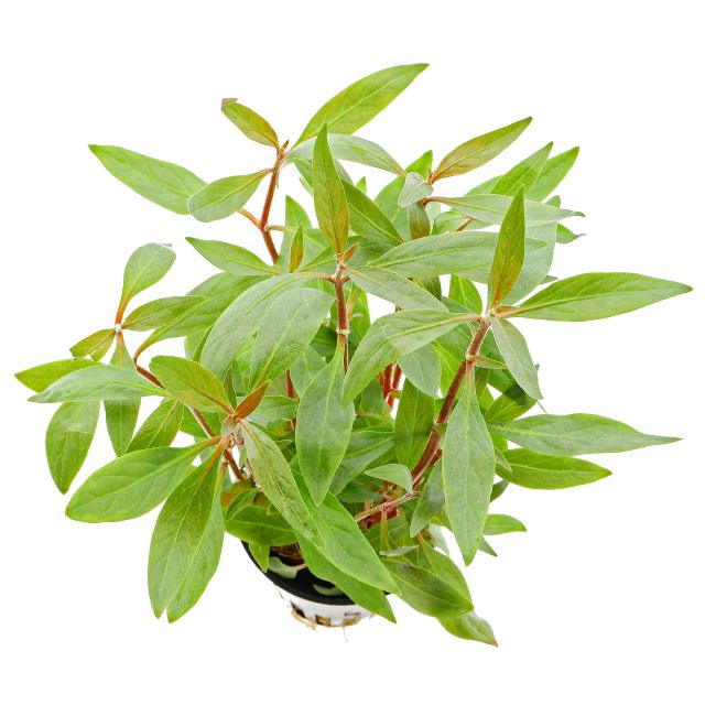 Alternanthera reineckii 'Mini' - Linea Cup