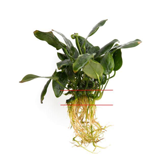 Aufbau einer Anubias-Pflanze