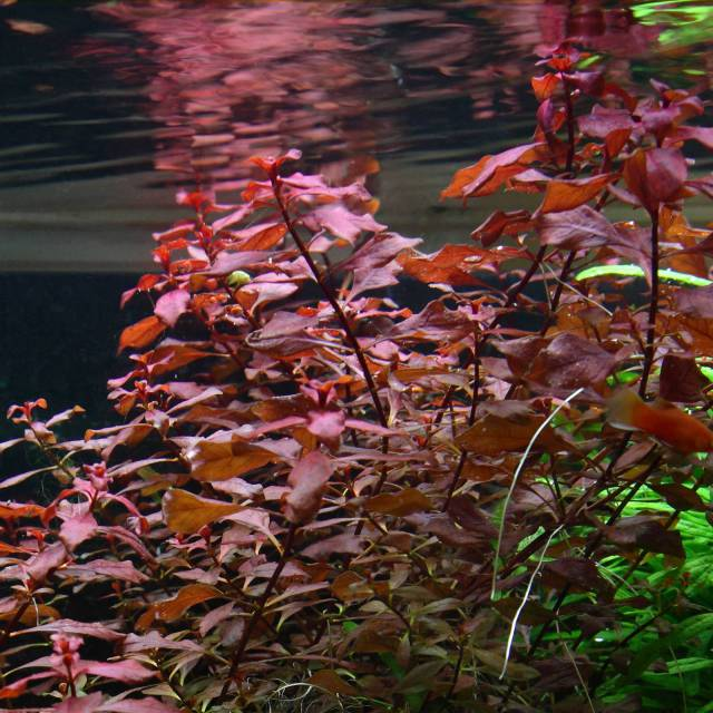 Ludwigia sp. 'Super Red'