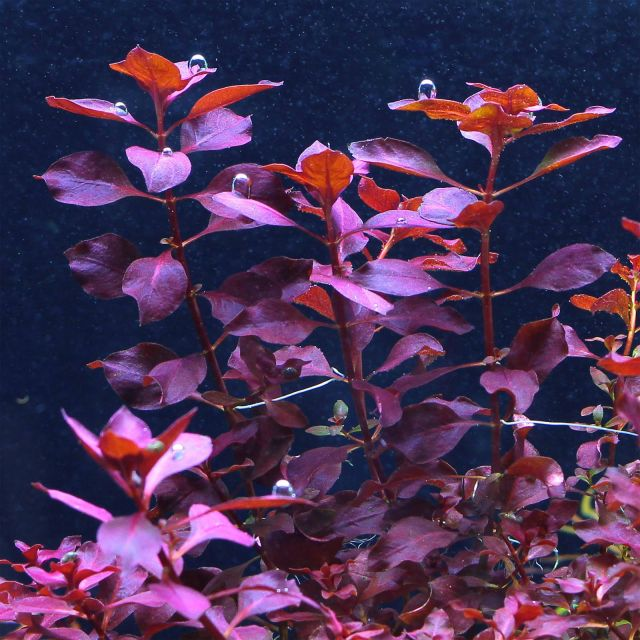Ludwigia sp. 'Super Red' - Topf