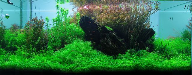 Aquarium without filamentous algae.