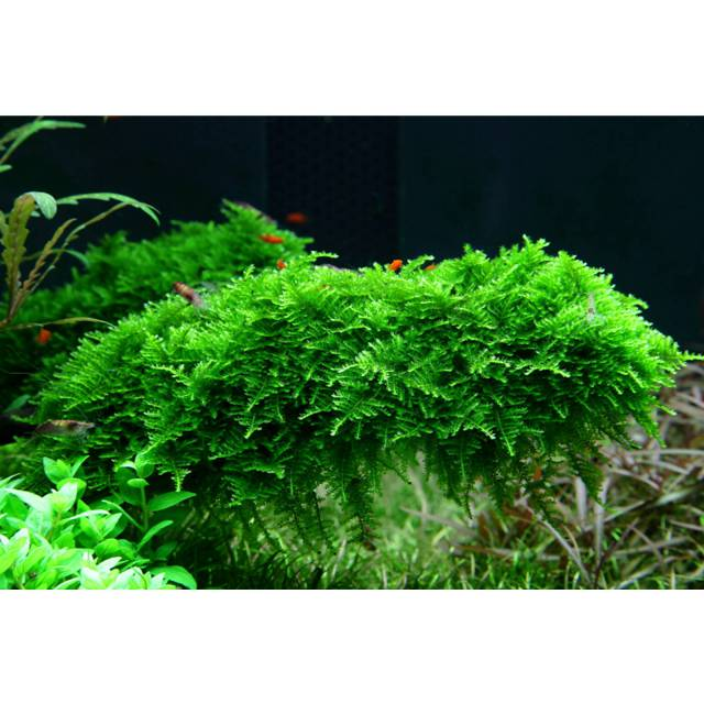 "Vesicularia ""Christmas Moss"" - Linea Cup"