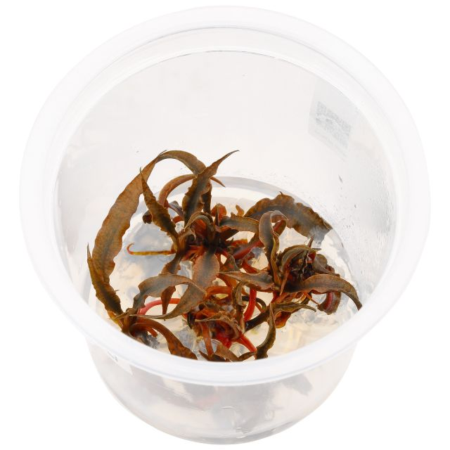 Cryptocoryne sp. 'Tiger' - ADA In Vitro M