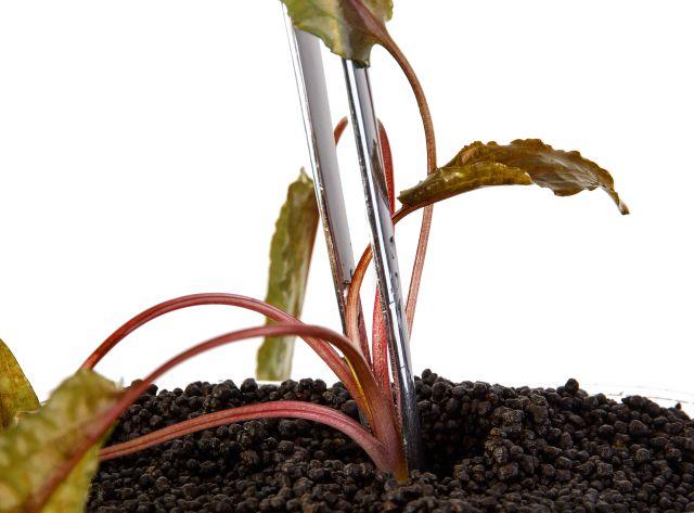 Cryptocoryne eingepflanzt