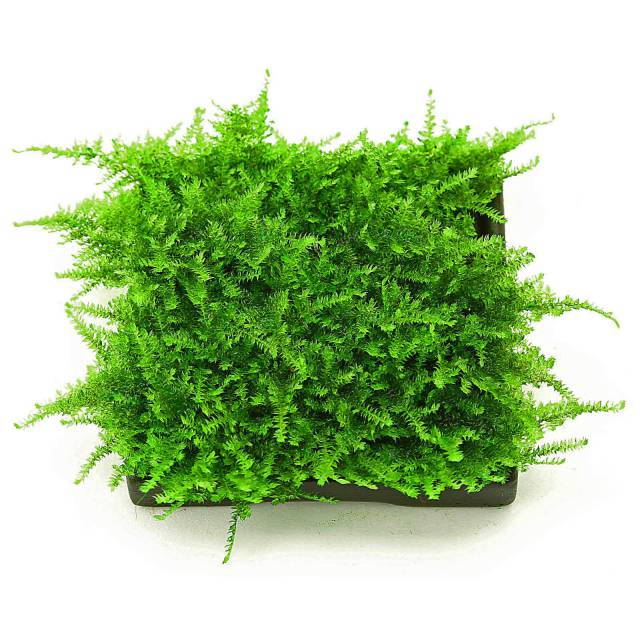 moss on a pad