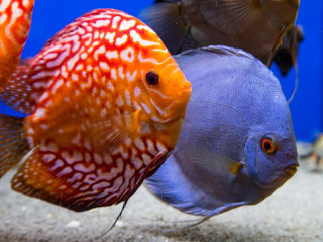 Discus couple