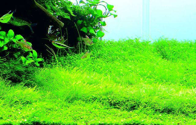 ADA utricularia graminifolia