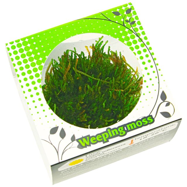 Vesicularia ferriei 'Weeping Moss' - in Vitro XL