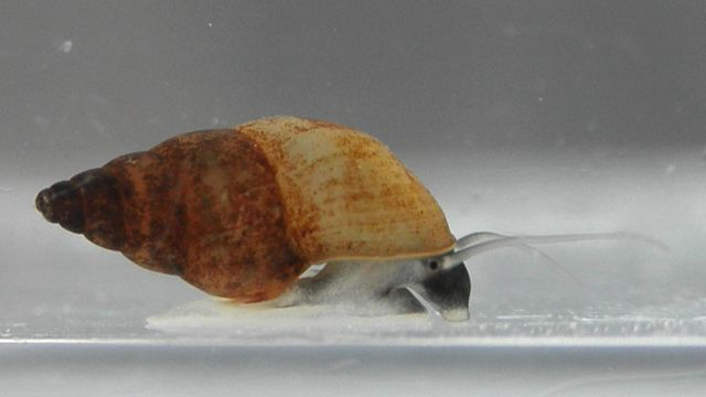 Potamopyrgus antipodarum