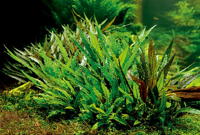Cryptocoryne in ADA Power Sand
