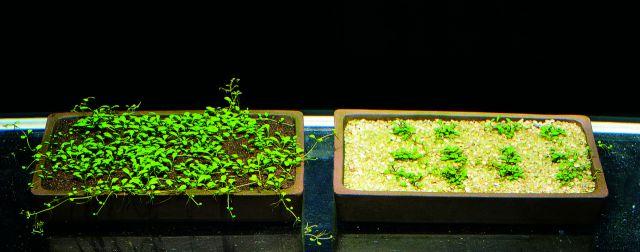 ADA Glossostigma Wachstum Vergleich