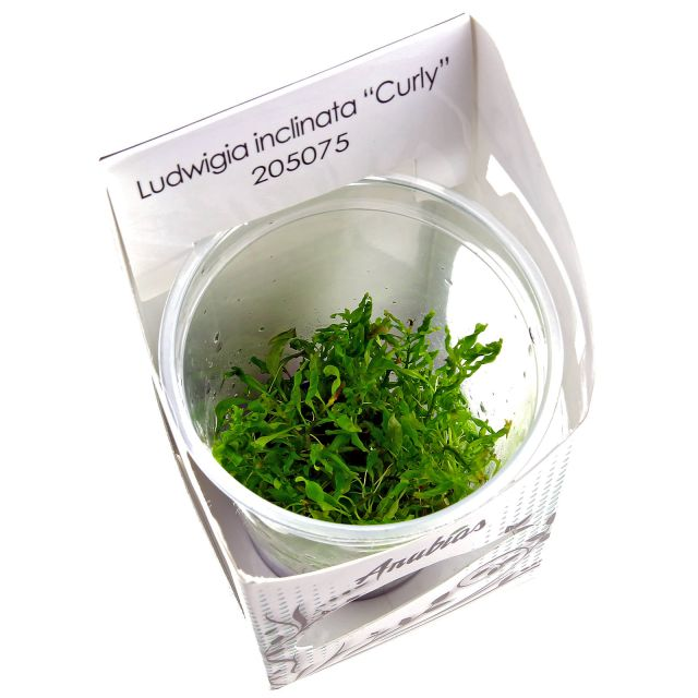 Ludwigia inclinata var. verticillata 'Curly' - in Vitro XL