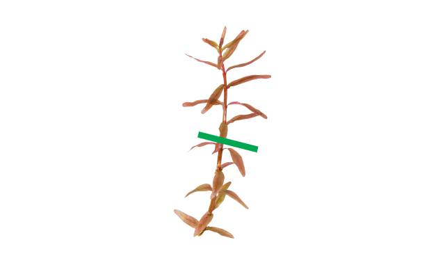 Rotala rotundifolia getrimmt