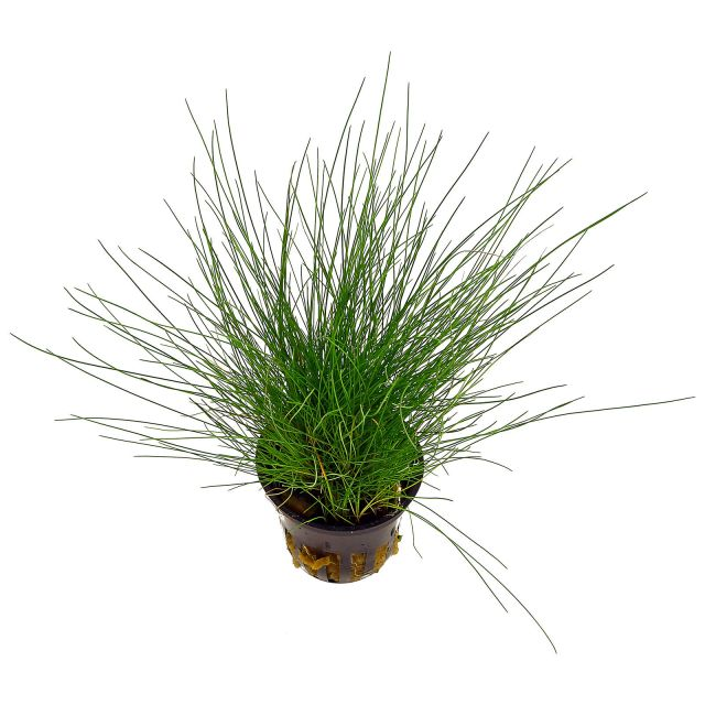 Eleocharis pusilla (parvula) - Plant-It!