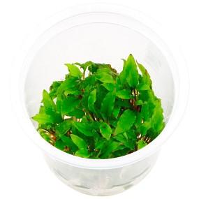 "Cryptocoryne wendtii ""grün"" - ADA - In Vitro M"