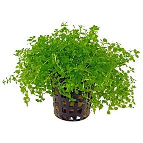 """Micranthemum sp. """"Montecarlo-3"""" - Topf"""