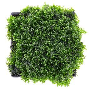 "Riccardia sp. ""chamedryfolia"" - Pad - 5 x 5 cm"