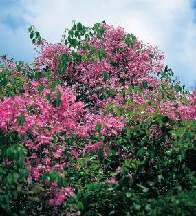 Rio Negro River Blüten