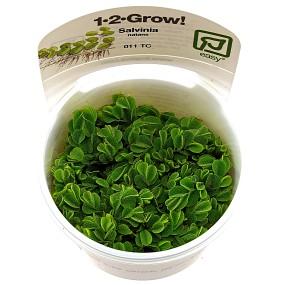 Salvinia auriculata - 1-2-GROW!