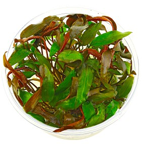 Cryptocoryne walkeri - in Vitro XL