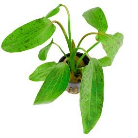 Echinodorus 'Ozelot Green'