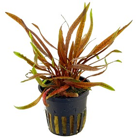 Cryptocoryne albida 'Brown' - Topf